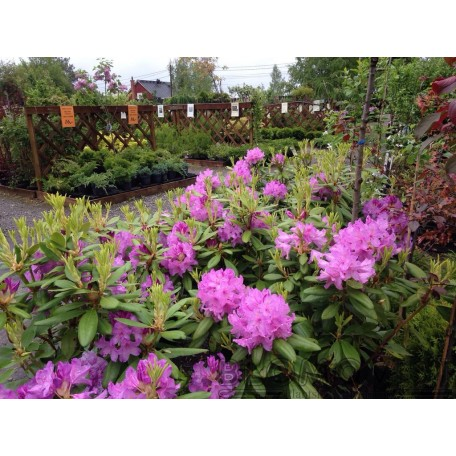 Parkrododendron
