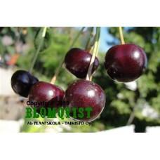 Chokladkörsbär på stam  I-IV(V)