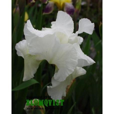 Trädg. iris